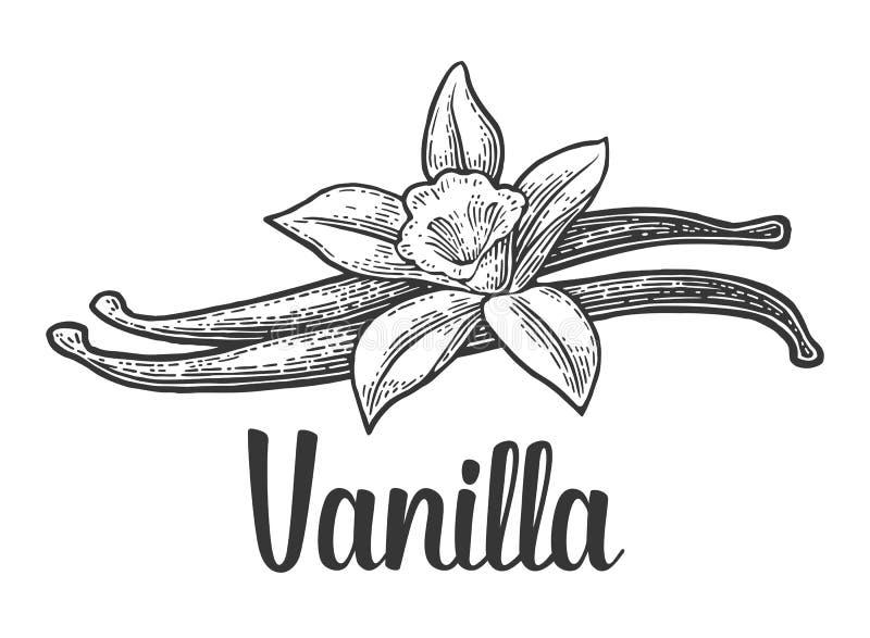 Bastone e fiore della vaniglia Annata nera di vettore incisa royalty illustrazione gratis