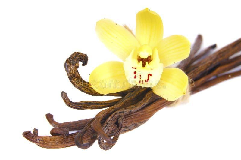 Bastoni dei baccelli dei baccelli di vaniglia isolati su bianco fotografia stock