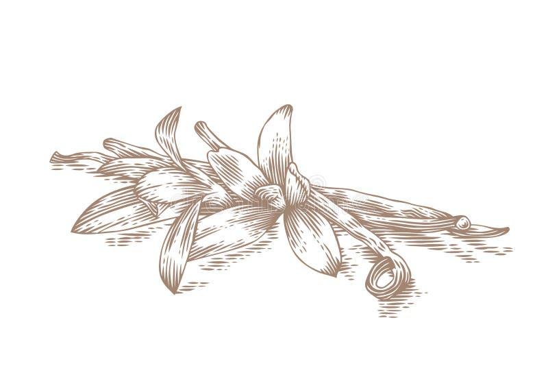 Bastoni e fiori della vaniglia illustrazione di stock