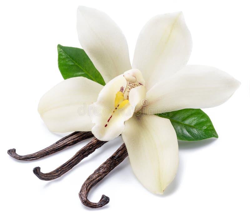 Bastoni secchi della vaniglia e fiore della vaniglia dell'orchidea isolato su fondo bianco fotografie stock libere da diritti