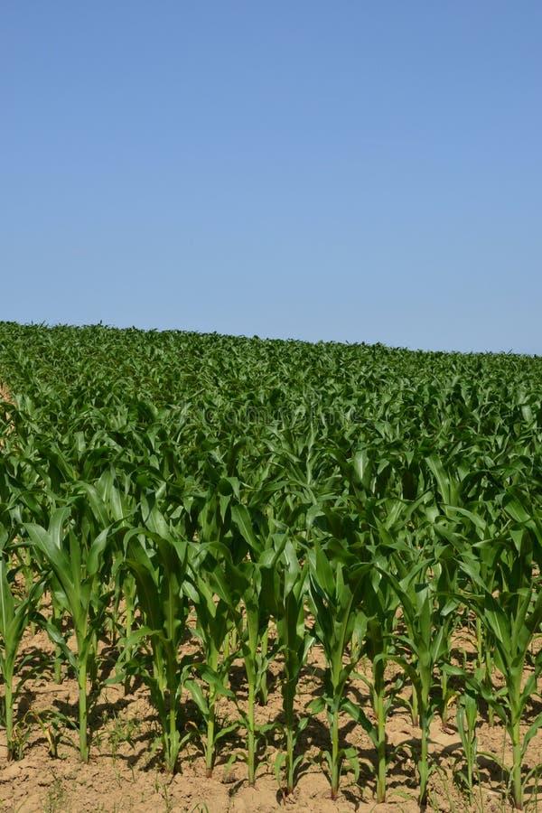 Basu rhin, kukurydzany pole w Hunspach w Alsace fotografia stock