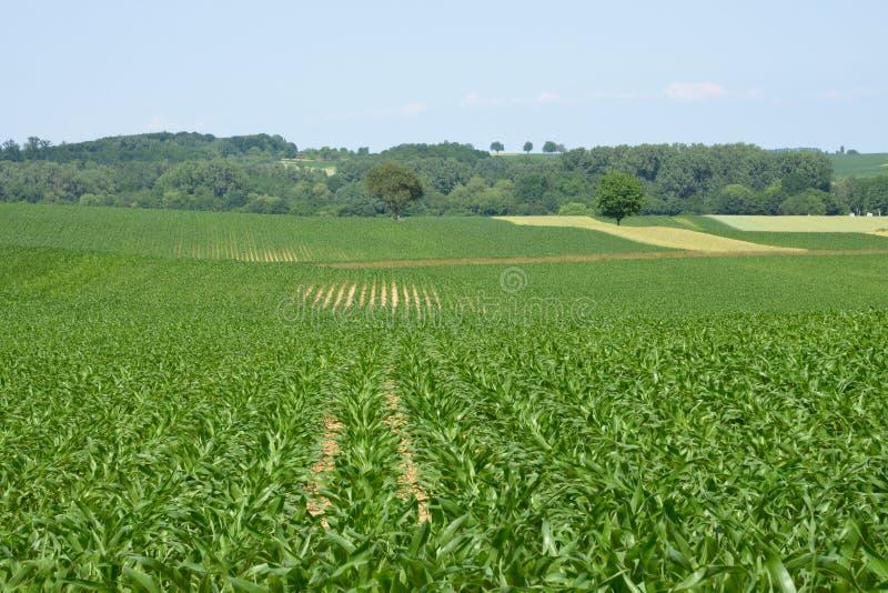 Basu rhin, kukurydzany pole w Hunspach w Alsace obrazy stock
