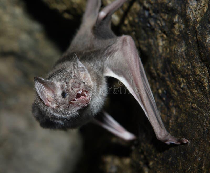 bat вампир стоковые фотографии rf