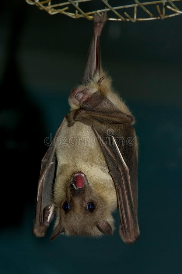 Download Bat stock image. Image of cheiroptera, winged, nocturnal - 12077521