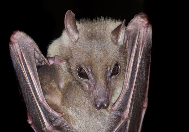 'bat' photo stock