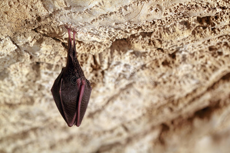 Download Bat stock image. Image of upside, microchiroptera, rest - 38664957