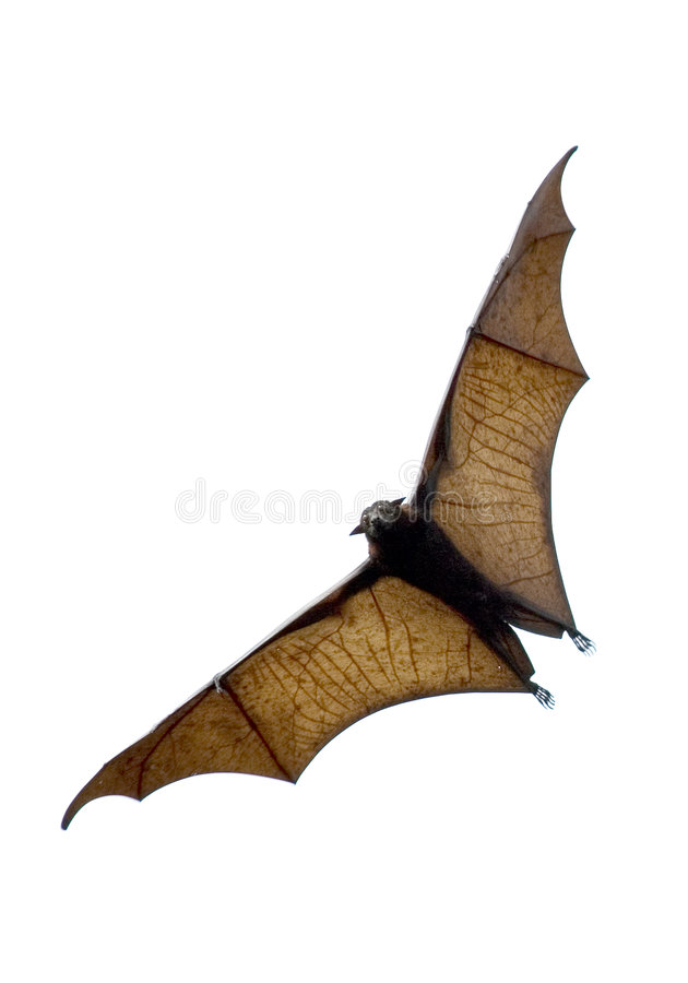 The bat royalty free stock image