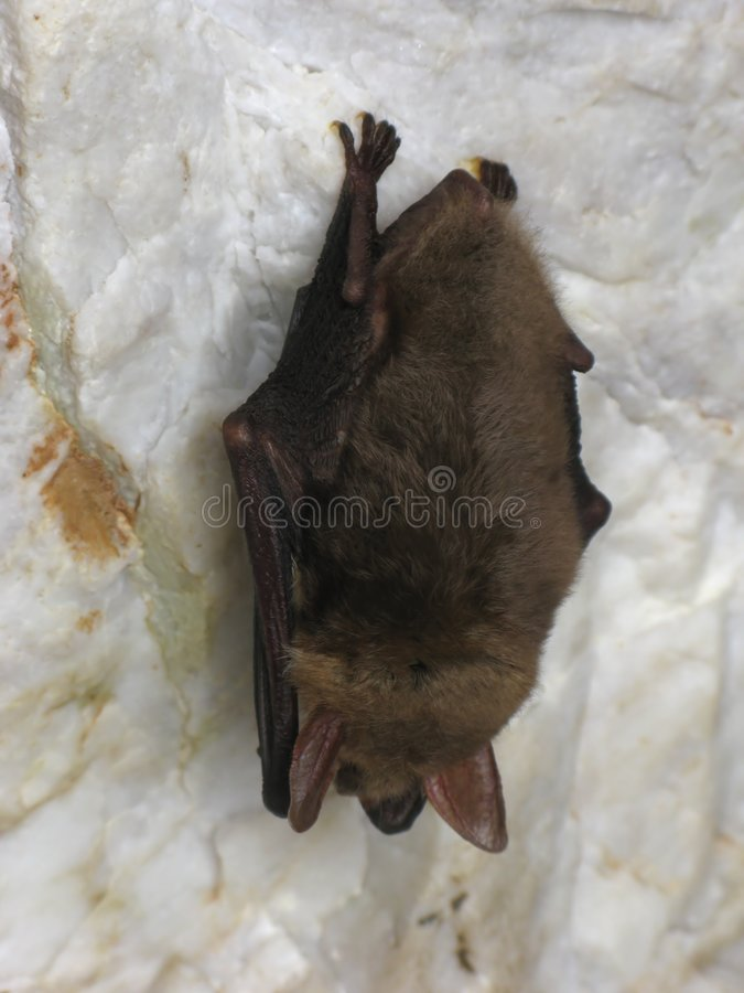 Bat  Photo stock