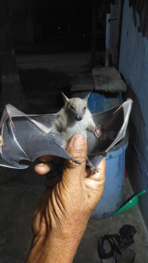 Bat Caught in hand royalty free stock images