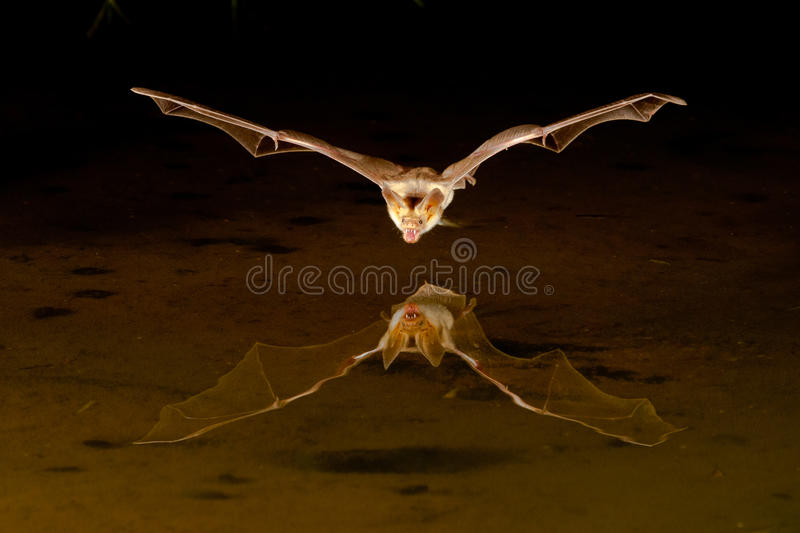 'bat' de petit Brown photo stock