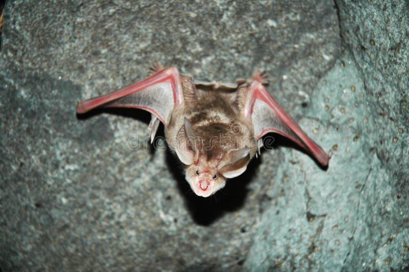 'bat' de vol en caverne d'Azokh photos stock