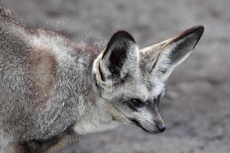 Bat Eared Fox royalty free stock photography