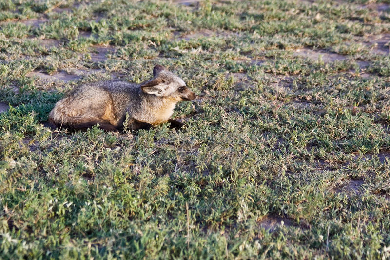 Bat-eared Fox royalty free stock images