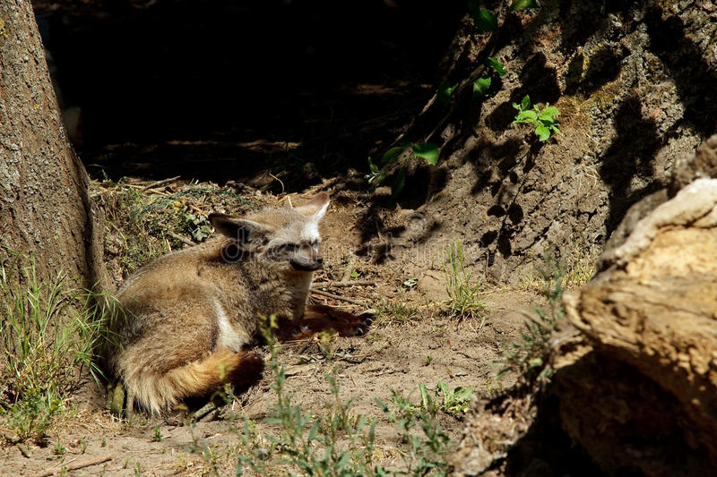 Bat eared fox. Resting under tree in the sun. (Otocyon megalotis stock images