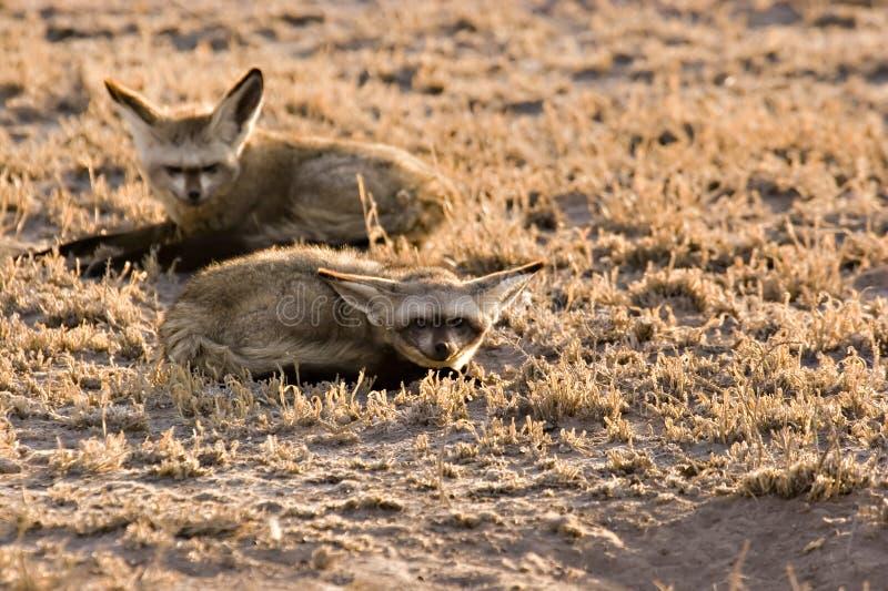 Bat-eared fox stock image