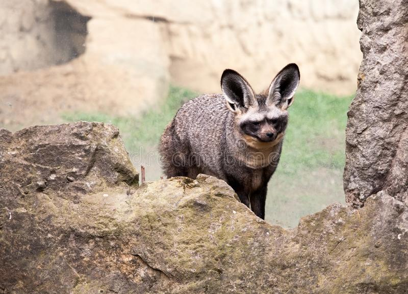 Bat-eared fox stock images