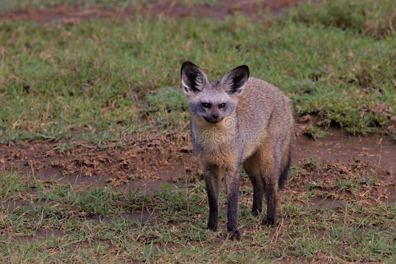 Bat Eared, Fox, Serengeti Plains, Tanzania, Afrika fotografering för bildbyråer