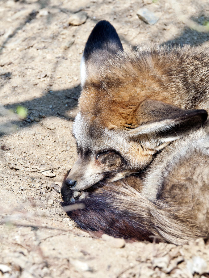 Bat-eared fox. A bat-eared fox sleeping on the ground stock photos