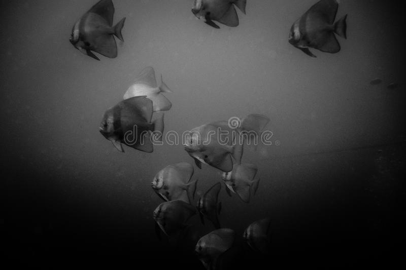 Bat fishes oman. Swar of bat fishes in the oman hallanyiat island royalty free stock photos