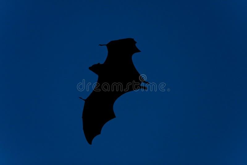 Bat in flight at night royalty free stock photos