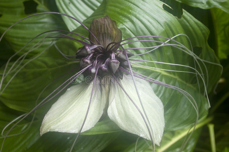 Bat Flower Tacca Lily with white petals and whiskers stock photography