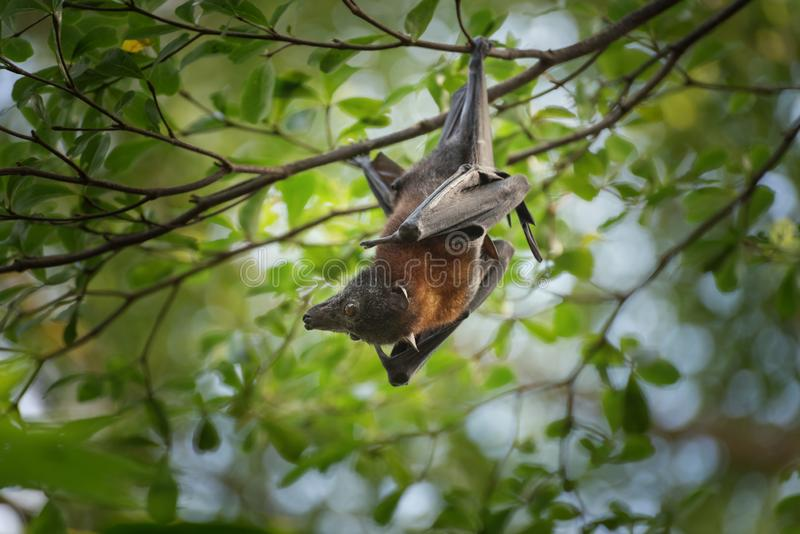 Bat, mammal of the order Chiroptera is hanging on the tree branch. Close up stock photography