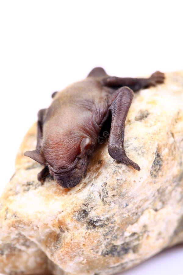 Bat  Nouveau-née Photographie stock