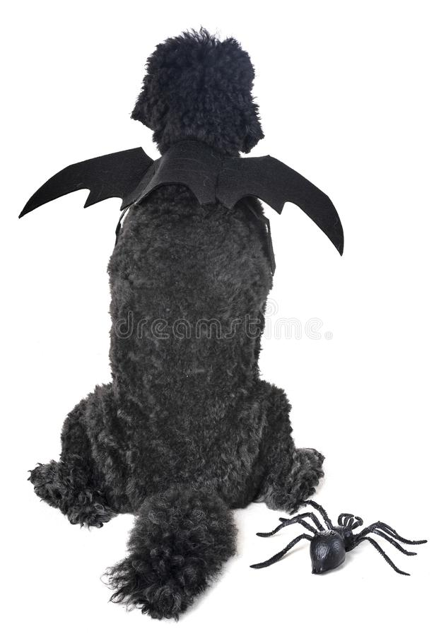 Bat poodle in studio. Bat poodle in front of white background stock photography