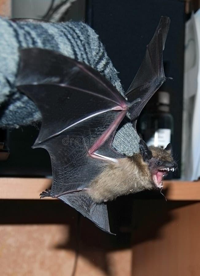Download Bat profile stock image. Image of mammal, mouse, nature - 21383557