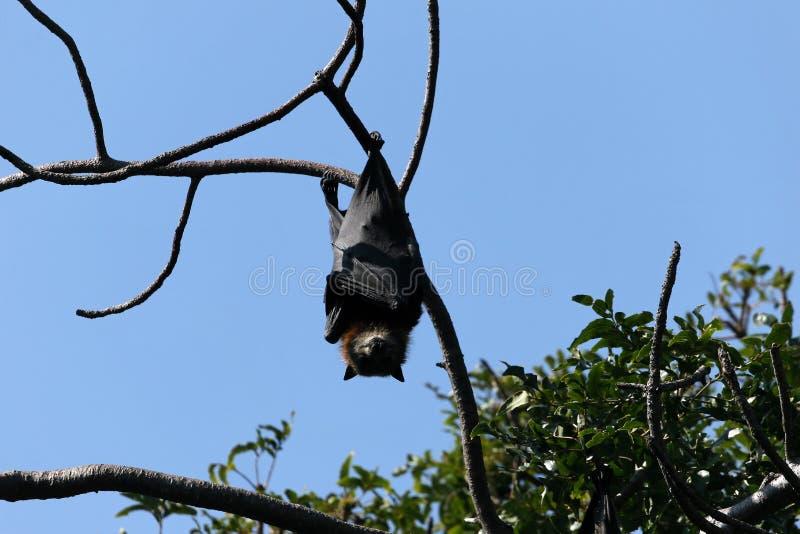 'bat' s'arrêtant sur l'arbre photographie stock libre de droits