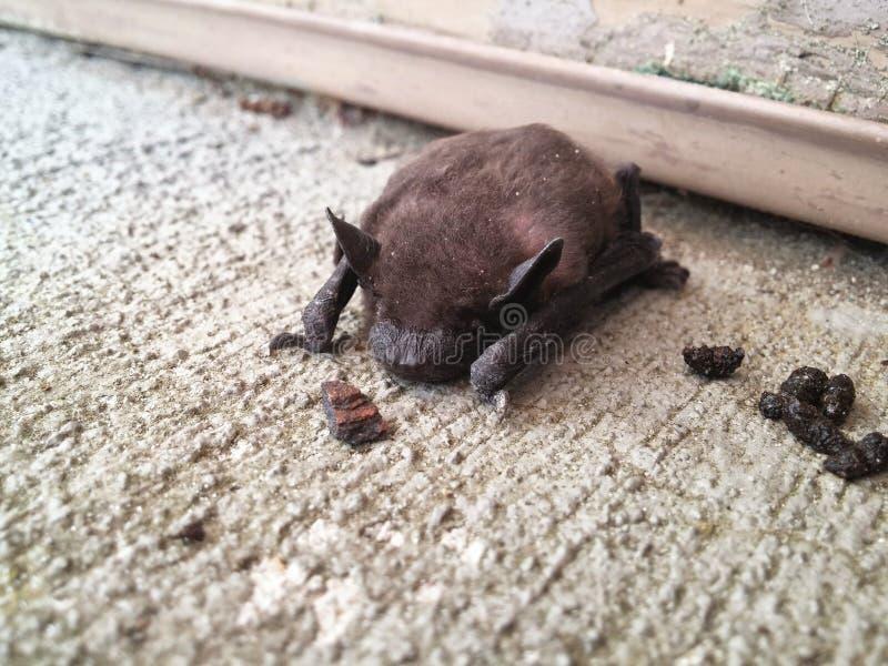 Little brown baby bat sleeping on the floor stock images