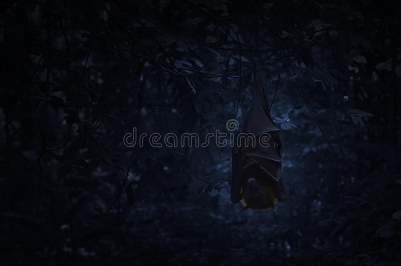 Bat sleep and hang on tree in dark forest, Spooky background, Ha. Lloween concept stock photography