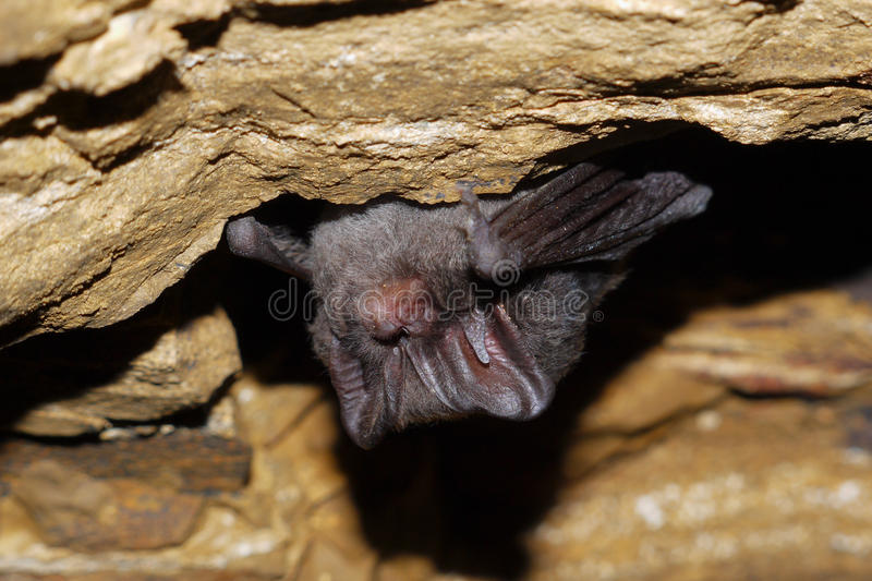Download Bat stock photo. Image of wildlife, wing, white, cave - 35811132
