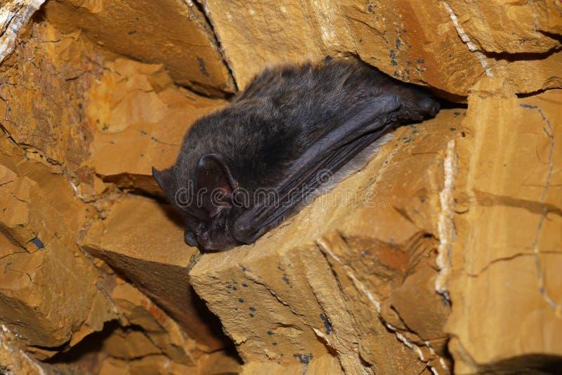 Bat royalty free stock images