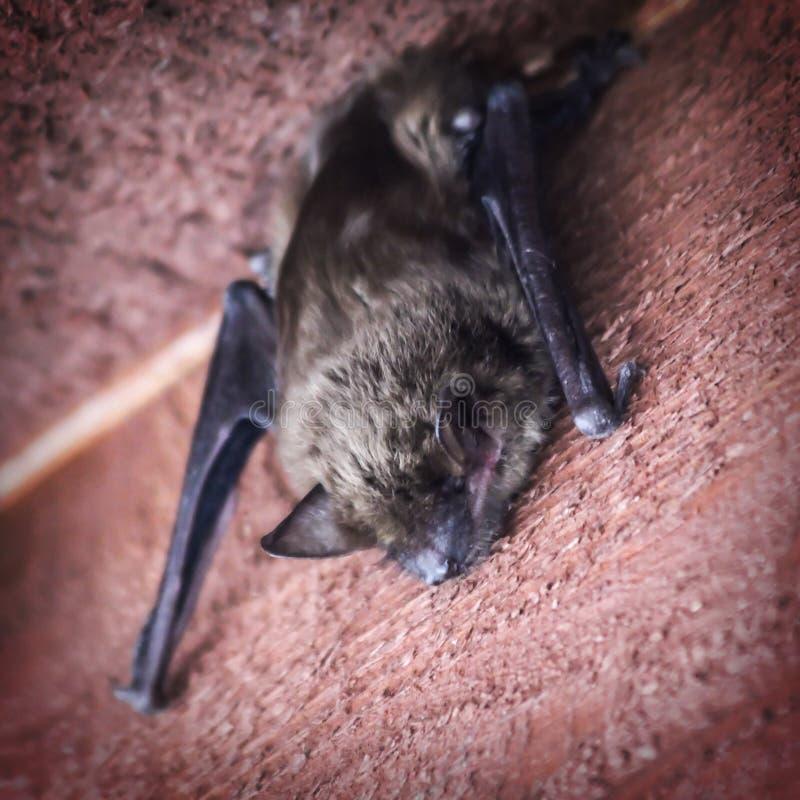 Free Bat Sleeping On House Siding. Stock Image - 182119521