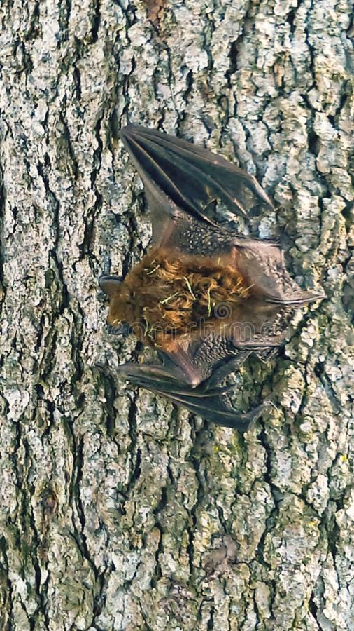 Bat on tree stock images