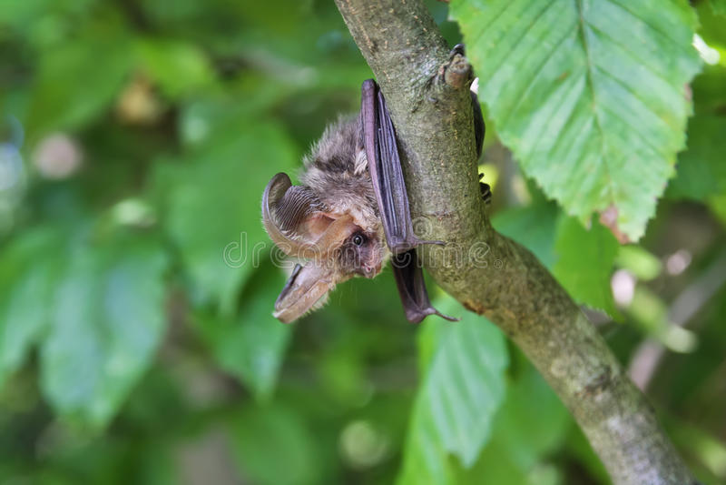 Bat on a tree royalty free stock photography