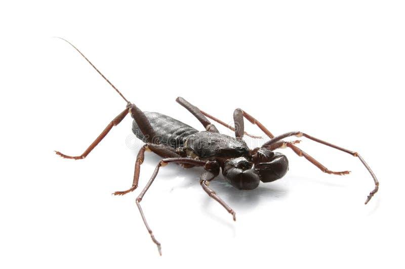 Bata skorpion zdjęcia royalty free