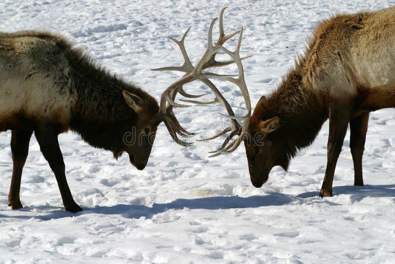 Bataille d'élans de Bull photos stock