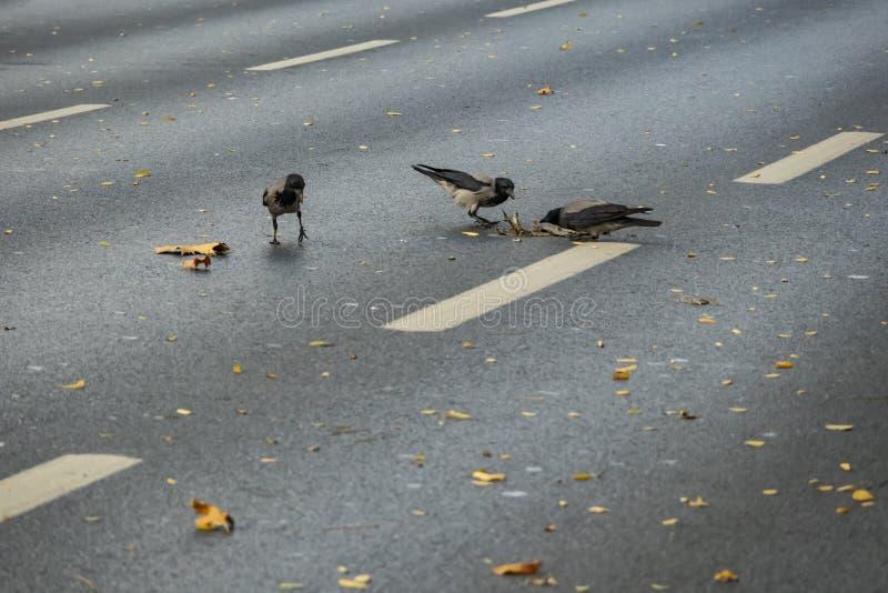 Batalla de la comida de los cuervos en la carretera de asfalto imagenes de archivo