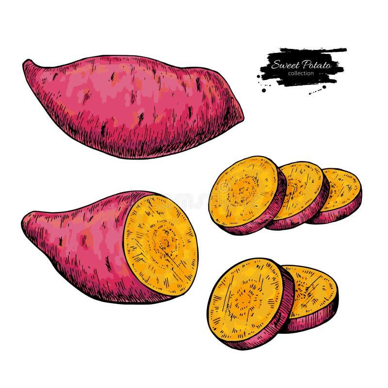 Batat ręka rysująca wektorowa ilustracja odosobniony warzywo ilustracji