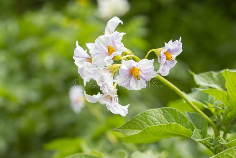 Batata de florescência, flor roxa branca da batata na natureza com folhas, close-up do papel de parede do fundo Batatas de flores fotografia de stock
