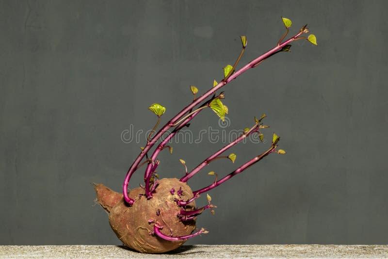 Batata doce com perfil do retrato das folhas fotografia de stock