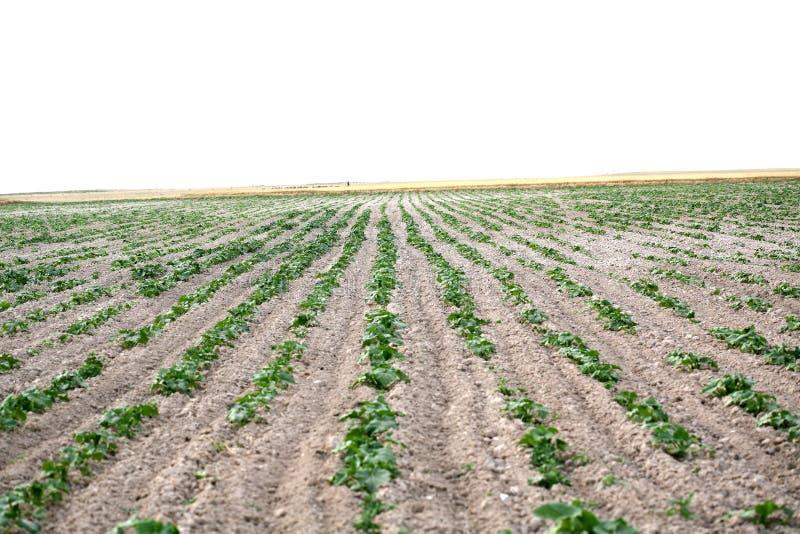 A batata no campo floresce fundo imagens de stock