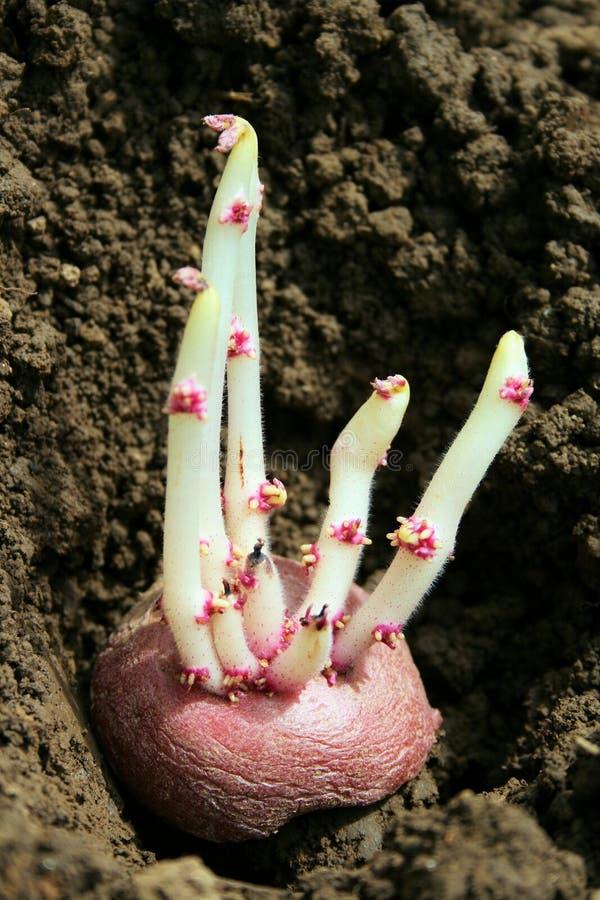Batata Sprouting foto de stock