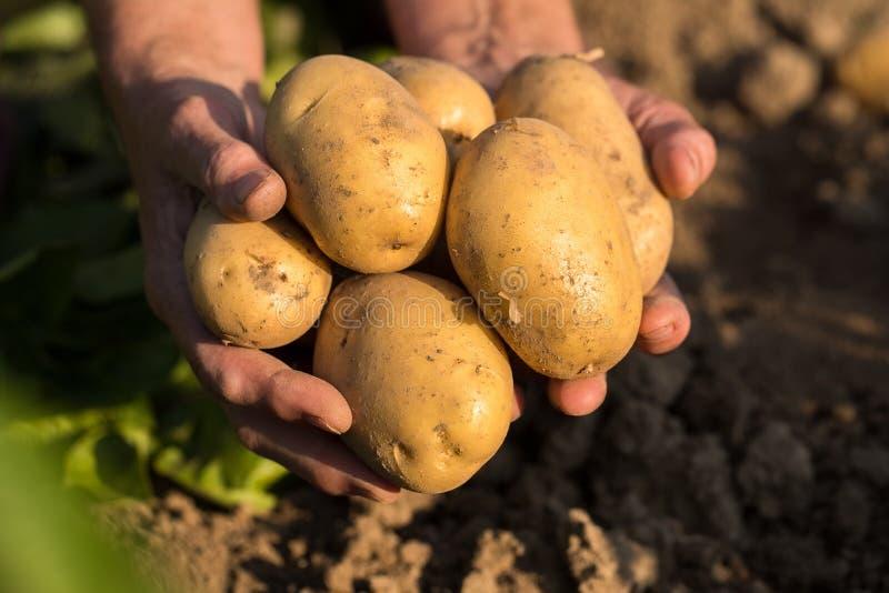 Batatas amarelas nas mãos do jardineiro On Potato Field em Sunny Da imagem de stock