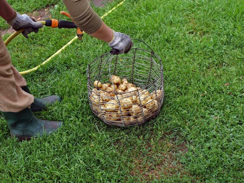 Batatas de lavagem imagem de stock