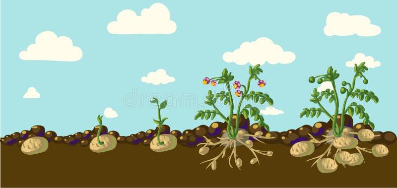 Batatas do vetor ilustração do vetor