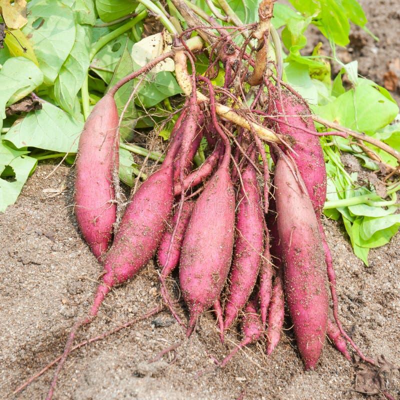 Batatas doces orgânicas fotografia de stock royalty free