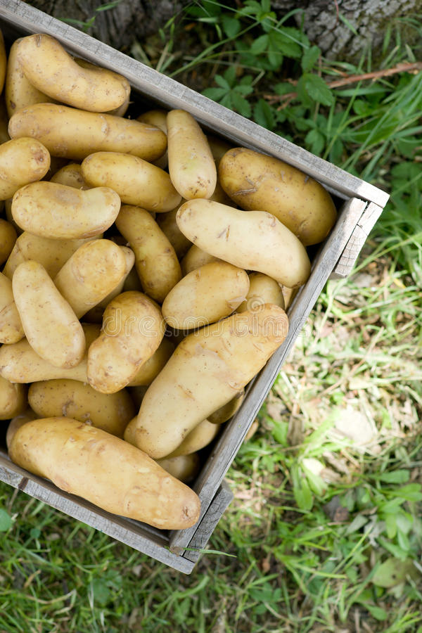 Batatas em uma caixa fotografia de stock